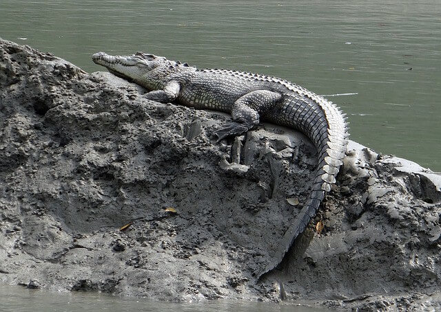 saltwater-crocodile-sunderbans-beautiful-places-india