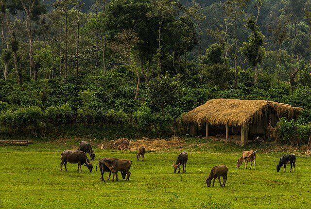 Coorg Cows - Best Places to Visit in India