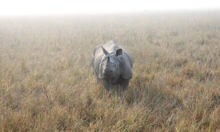 Take a Trip this Weekend to the World's Only Home of Greater One Horned Rhino – Kaziranga National Park, Assam