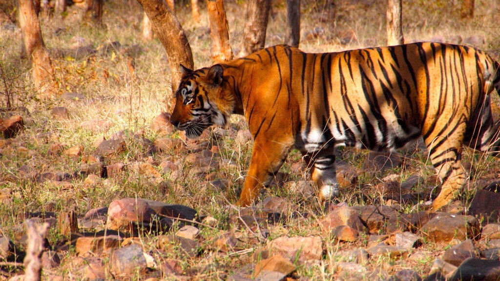 Tiger in Ranthambore National Park, India | Best Places to Visit in India